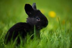 Nettes Kaninchen mit dem Blumenlöwenzahn, der im Gras sitzt Tiernaturlebensraum, Leben in der Wiese Wildkaninchen oder Common stockfotografie