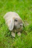 Nettes Kaninchen mit Hängeohren stockbild