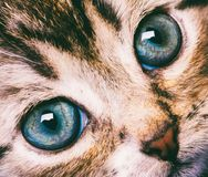 Nettes Katzengesicht der Makrophotographie mit blauen Augen Lizenzfreies Stockbild