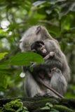 Nettes kleines Affebaby umgeben durch seine macayue Familie, im Regenaffewald in Ubud, Bali, Indonesien Stockbilder