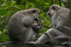 Nettes kleines Affebaby umgeben durch seine macayue Familie, im Regenaffewald in Ubud, Bali, Indonesien Stockfotografie