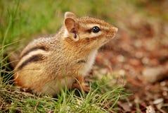 Nettes kleines Babystreifenhörnchen lizenzfreie stockbilder