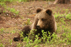Nettes kleines braunes Bärenjunges, das hinter einen Busch legt stockfotografie