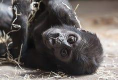 Nettes kleines Gorillababy, das aus den Grund stillsteht Lizenzfreies Stockfoto