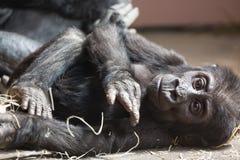 Nettes kleines Gorillababy, das aus den Grund stillsteht Stockfotografie