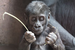 Nettes kleines Gorillababy spielt mit einem Stock Lizenzfreie Stockfotos