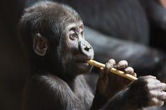 Nettes kleines Gorillababy spielt mit einem Stock Lizenzfreies Stockbild