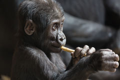 Nettes kleines Gorillababy spielt mit einem Stock Stockfoto