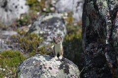 Nettes kleines Hermelin, das von einem Felsen anstarrt Lizenzfreies Stockbild