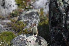 Nettes kleines Hermelin, das von einem Felsen anstarrt Stockbild