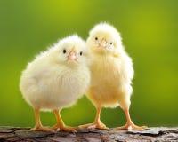 Nettes kleines Huhn Stockfoto