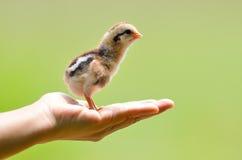 nettes kleines Huhn Lizenzfreies Stockfoto