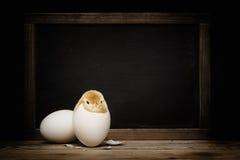 Nettes kleines Huhn, das aus ein Ei herauskommt Lizenzfreie Stockfotografie