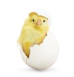 Nettes kleines Huhn, das aus ein weißes Ei herauskommt Lizenzfreie Stockfotografie