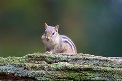 Nettes kleines Oststreifenhörnchen Lizenzfreies Stockbild