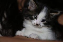 Nettes kleines Schwarzweiss-Kätzchen Lizenzfreies Stockfoto