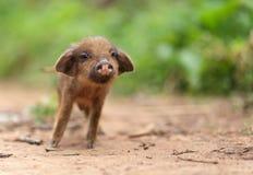 Nettes kleines Schwein Lizenzfreies Stockfoto