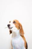 Nettes kleines Spürhundhundestudioporträt - halten Sie Blume auf dem Mund Lizenzfreies Stockbild