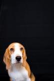 Nettes kleines Spürhundhundestudioporträt - schwarzer Hintergrund Stockfotografie