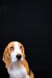 Nettes kleines Spürhundhundestudioporträt - schwarzer Hintergrund Stockfotos