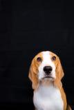 Nettes kleines Spürhundhundestudioporträt - schwarzer Hintergrund Lizenzfreie Stockfotos