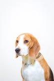 Nettes kleines Spürhundhundestudioporträt - weißer Hintergrund Lizenzfreie Stockfotos