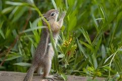 Nettes kleines Streifenhörnchen Lizenzfreie Stockbilder