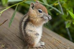 Nettes kleines Streifenhörnchen Stockbild