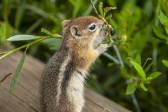 Nettes kleines Streifenhörnchen Stockbilder