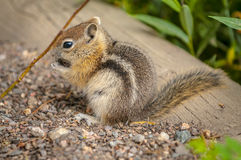 Nettes kleines Streifenhörnchen Lizenzfreies Stockfoto