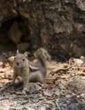 Nettes kleines Streifenhörnchen, das in Richtung der Kamera blickt Lizenzfreies Stockbild