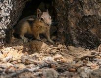 Nettes kleines Streifenhörnchen, das in Richtung der Kamera blickt Lizenzfreies Stockfoto