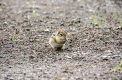 Nettes kleines Streifenhörnchen, das seine Backen mit Nüssen und Samen anfüllt Lizenzfreies Stockfoto