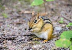 Nettes kleines Streifenhörnchen, das seine Backen mit Nüssen und Samen, Kanada anfüllt Stockfotografie