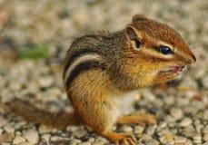 Nettes kleines Streifenhörnchen mit gegenüberzustellen den Tatzen Stockfotos
