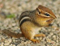 Nettes kleines Streifenhörnchen mit gegenüberzustellen den Tatzen Stockfotografie