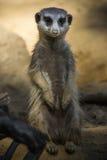 Nettes lächelndes meerkat Stockfotografie