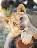 Nettes Löwejunges auf Baumstamm stockfotografie