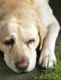 Nettes Labrador Stockfoto