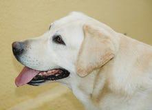 Nettes Labrador Stockbild