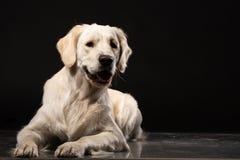 Nettes Labrador retriever auf schwarzem Hintergrund lizenzfreie stockbilder