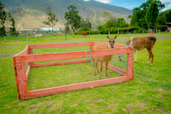 Nettes Lama hinter einem Zaun Lizenzfreie Stockfotos