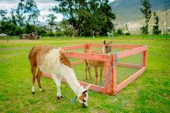 Nettes Lama hinter einem Zaun Stockbilder