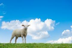 Nettes Lamm stockfoto