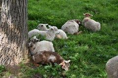 Nettes Lamm der Herde Schafe auf Weide Stockfotografie