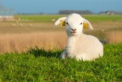 Nettes Lamm im Frühjahr Lizenzfreie Stockfotos