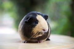 Nettes Meerschweinchen Stockfoto