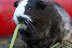 Nettes Meerschweinchen Lizenzfreies Stockfoto