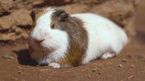 Nettes Meerschweinchen Cavia porcellus Abschluss herauf Film- Clip 4k stock video