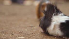 Nettes Meerschweinchen Cavia porcellus Abschluss herauf Film- Clip 4k stock footage